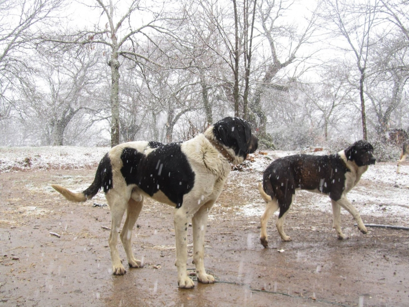 LPD study update, Livestock Protection Dogs study update