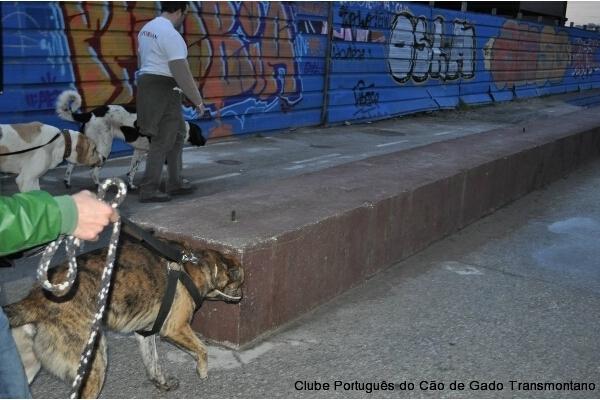 CÃOminhada Porto 2014 CPCGT Clube Português do Cão de Gado Transmontanoo_600_400