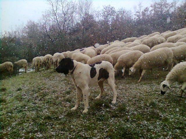 Cão de Gado Transmontano, historia