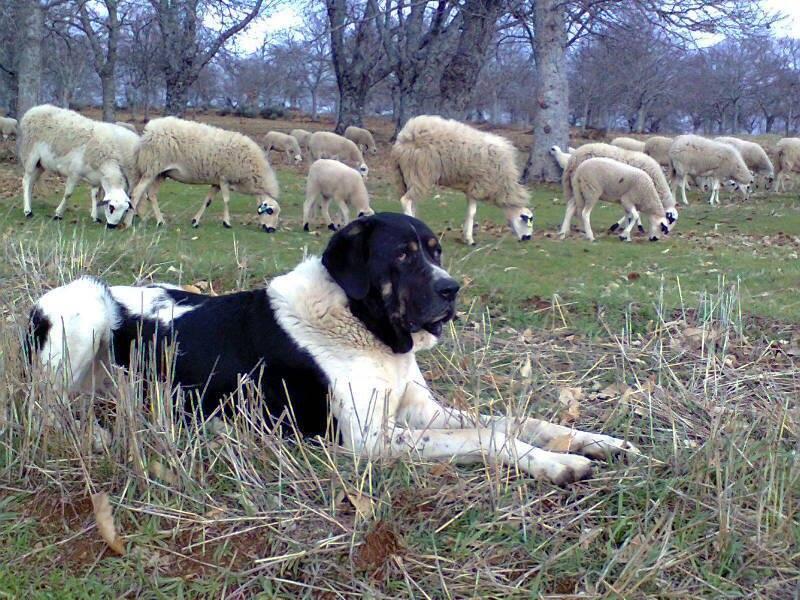 CGT (Cão de Gado Transmontano)