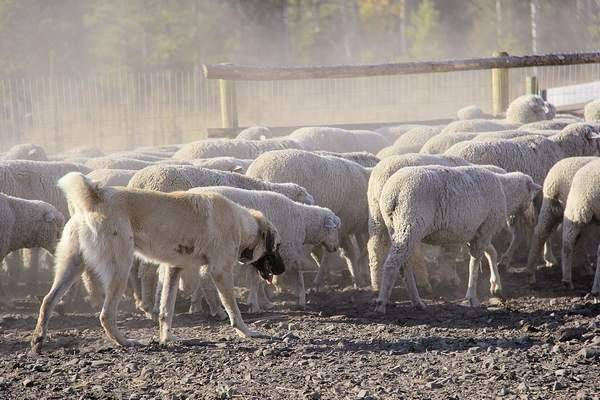 A Kangal involved in ongoing research to identify new breeds of guard dogs to protect sheep from wolves guards a flock in September.