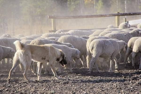 Le Kangal impliqués dans les recherches en cours pour identifier les nouvelles races de chiens de garde pour protéger les moutons des gardes loups le troupeau en septembre.